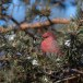 Haakbek-Pine-grosbeak-41