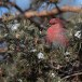 Haakbek-Pine-grosbeak-42