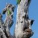 Halsbandparkiet-Rose-ringed-parakeet-01