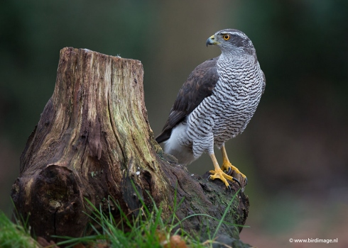Havik - Northern Goshawk 15