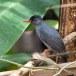 Zwarte-buulbuul-Malagasy-bulbul-04