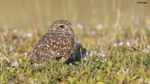 Holenuil - Burrowing owl 005