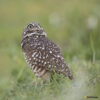 Holenuil - Burrowing owl 012