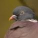 houtduif-wood-pigeon-01