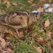houtsnip-woodcock-01