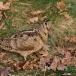 houtsnip-woodcock-03
