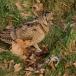 houtsnip-woodcock-05
