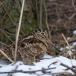 houtsnip-woodcock-17