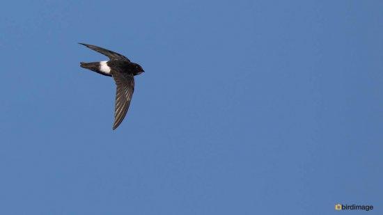 Huisgierzwaluw-Little-swift-01