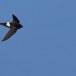 Huisgierzwaluw-Little-swift-02
