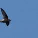 Huisgierzwaluw-Little-swift-03
