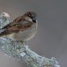 Huismus-House-sparrow-25