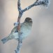 Huismus-House-sparrow-26