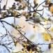 Humus-bladkoning-Humes-leaf-warbler-01