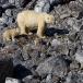 ijsbeer-polar-bear-07