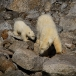 ijsbeer-polar-bear-09