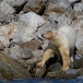 ijsbeer-polar-bear-13