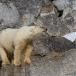 ijsbeer-polar-bear-14