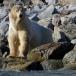 ijsbeer-polar-bear-16