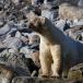 ijsbeer-polar-bear-17