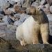ijsbeer-polar-bear-18