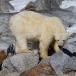 ijsbeer-polar-bear-20