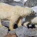 ijsbeer-polar-bear-22