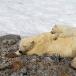 ijsbeer-polar-bear-26
