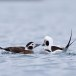 Ijseend-Long-tailed-duck-05