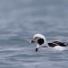 Ijseend-Long-tailed-duck-07