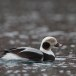 Ijseend-Long-tailed-duck-08