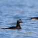 ijseend-long-tailed-duck-03