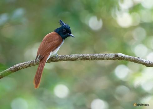 Indiase-paradijsmonarch-Indian-paradise-flycatcher-03