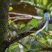 Indiase-paradijsmonarch-Indian-paradise-flycatcher-01