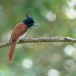 Indiase-paradijsmonarch-Indian-paradise-flycatcher-03
