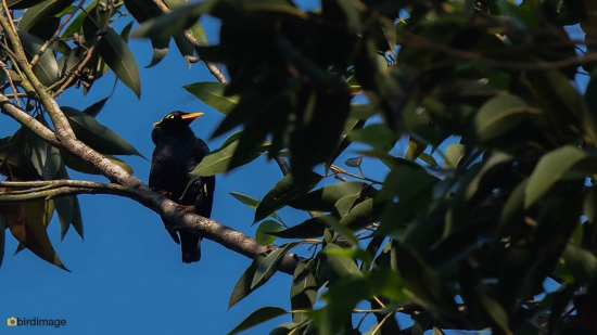 Indiase-beo-Southern-hill-myna-01