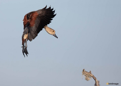 Indische-fluiteend-Lesser-whistling-duck-01