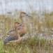 Indische-fluiteend-Lesser-whistling-duck-02