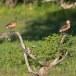 Indische-fluiteend-Lesser-whistling-duck-06