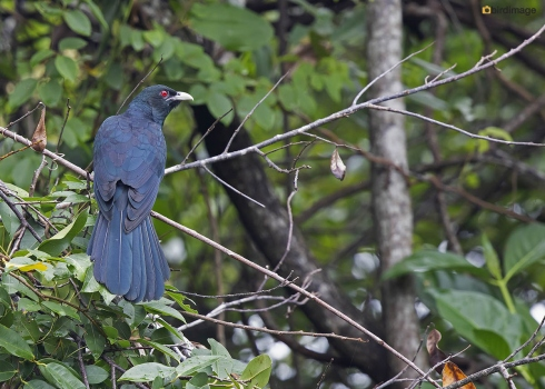 Indische-koël-Asian-koel-02