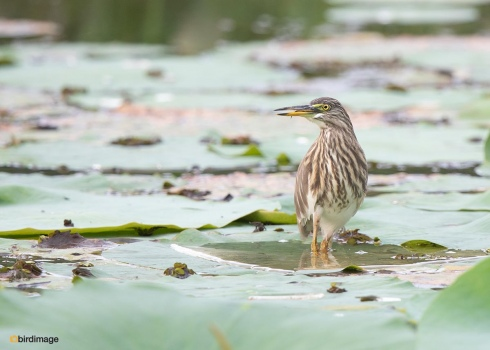 Indische-ralreiger-Indian-pond-heron-04