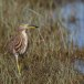 Indische-ralreiger-Indian-pond-heron-01
