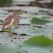 Indische-ralreiger-Indian-pond-heron-03