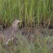 Indische-ralreiger-Indian-pond-heron-07