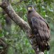 Indische-slangenarend-Crested-Serpent-Eagle-04
