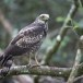Indische-slangenarend-Crested-Serpent-Eagle-06
