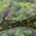 Indische-slangenarend-Crested-Serpent-Eagle-09