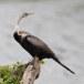 Indische-slangenhaslvogel-Oriental-darter-04