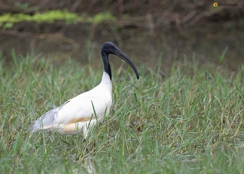 Indische-witte-ibis-Black-headed-ibis-01