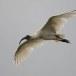 Indische-witte-ibis-Black-headed-ibis-02